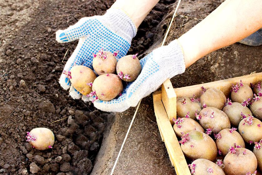 Сажать картошку с покойником 64