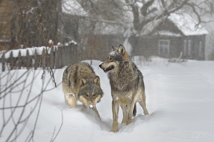 говорилось, есть ли волки в перми Виды термобелья